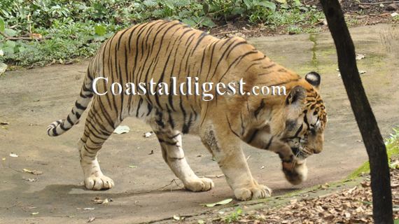 pilikula nisargadhama to celebrate intl tiger day  tiger day
