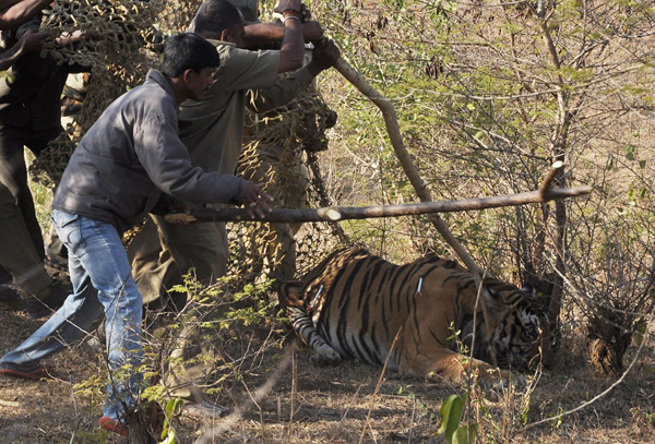 tiger_attack