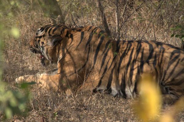 tiger_attack1