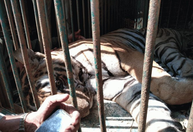 Man-eater tiger finally captured by forest officials in